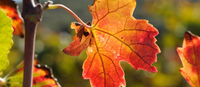 Wine Grape Leaves
